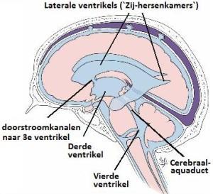 Het Cranio Sacrale ritme